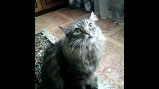 Сибирский кот певун(валет)