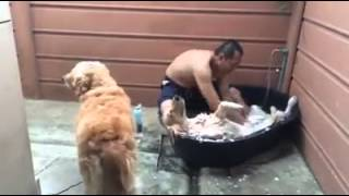 Golden Retriever Enjoys Bath
