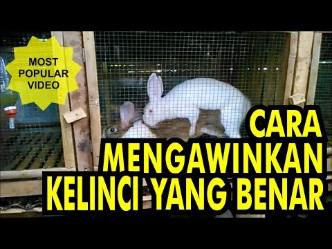 Kucing Persia Kawin Persian Cats Mating Doovi