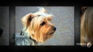 Australian Yorkshire Terrier Dog Breed