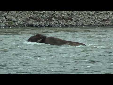 Bison struggle to get across river in Yellowstone National Park!