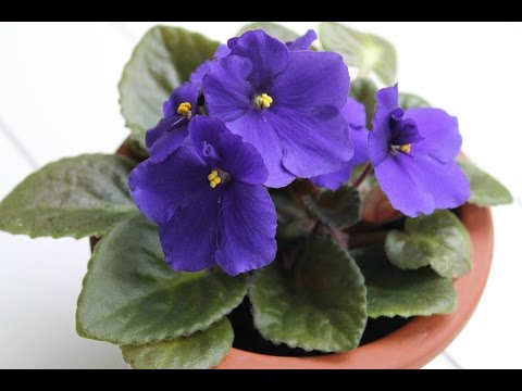 How Can I Tell a Sucker From a Flower Stalk in African Violets?