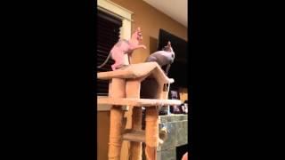 Hilarious Sphynx slap fight!