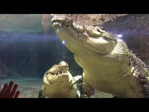 Спаривание огромных крокодилов.