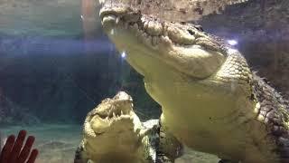 Спаривание  огромных крокодилов. Дубай молл. Pairing of crocodiles. Dubai Aquarium & Underwater Zoo