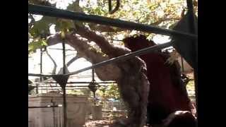 Дерево Гиппократа, о. Кос, Греция(Древний клен, который посадил сам Гиппократ. Ну, вроде не 2000 лет а поменьше, но - все же! Подробнее - http://spisokvdorog..., 2012-02-10T00:07:20.000Z)