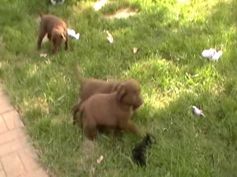 New Chesapeake Bay Retriever Litter