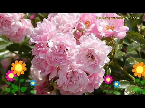 Роза почвопокровная Зе Фейри. Краткий обзор, описание характеристик, где купить саженцы The Fairy