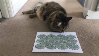 Cat likes optical illusion- In a different way