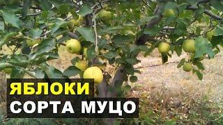 Яблоки сорта МУТСУ