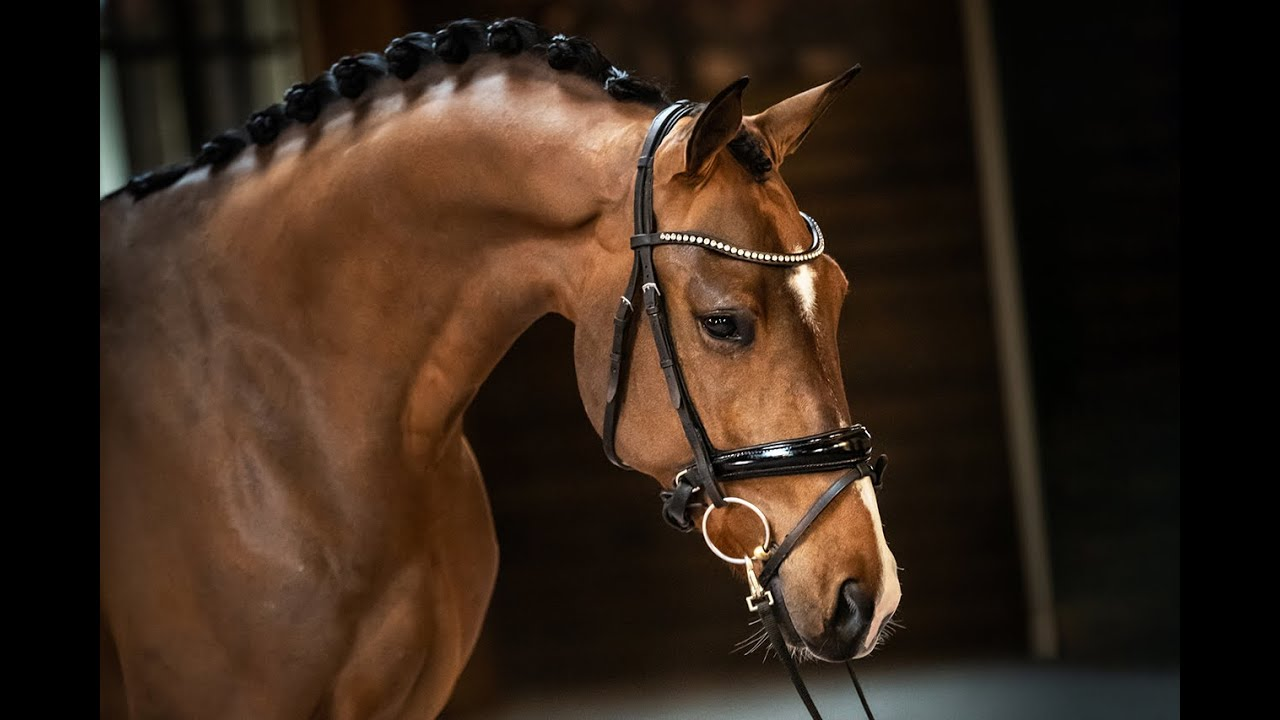 "Ventes ""Excellent Dressage Sales"" : un fils de Glock's Dream Boy vendu en France"