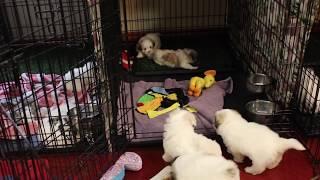 Coton Puppies For Sale - Eliza 11/20/19