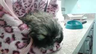 Moxy The Bunny Bear - Shih Tzu First Vet Continued