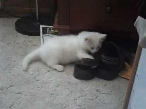 cc65e33a6a Cute Turkish Angora Kitten - YouTube