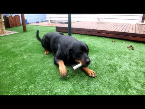 dog-treats:-blackdog-liver-filled-marrow-bone-attempted-by-shine-the-rottweiler
