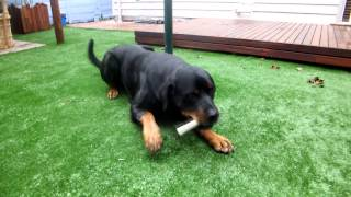 DOG TREATS: Blackdog Liver Filled Marrow bone Attempted by Shine the Rottweiler
