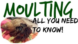 All About Moulting! | Hermit Crab Care