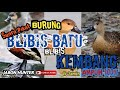 Suara Pikat Burung Blibis Batu Blibis Kembang  Ampuh  Mp3 - Mp4 Download