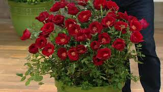 Cottage Farms Knock Out Double Blooming Rose Plant on QVC