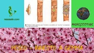 Botanica e giardinaggio - Innesto a gemma su pesco (Lorenzo Bonino) - Tecniche di innesto piante