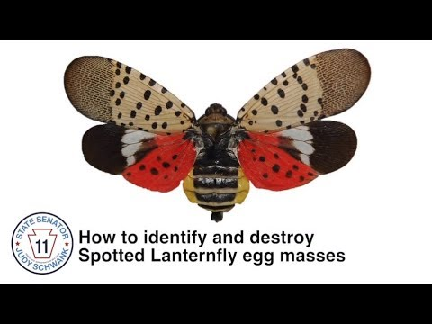 How to Identify and Destroy Spotted Lanternfly Egg Masses