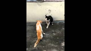 Orange cat vs black cat