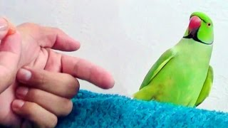 How to train your parrot to perch on hand.