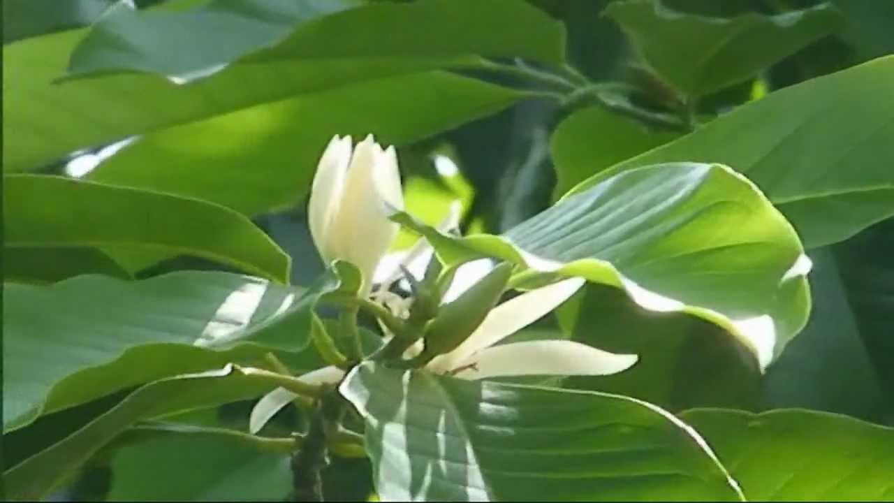Michelia Alba - ดอกจำปี (White Champaka) - YouTube