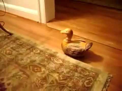 Vịt đẻ trứng - Duck lay egg