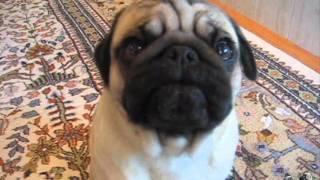 Max The Silent Barking Pug