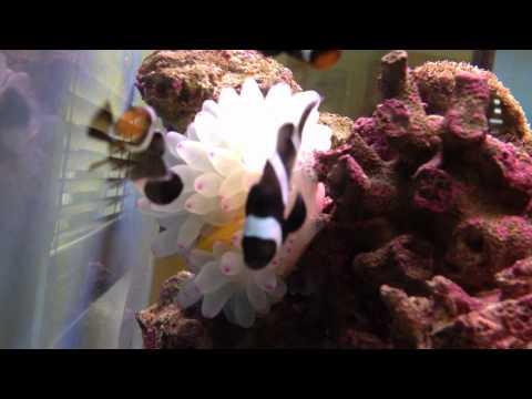 Anemone Eating Yellow Tang Fish