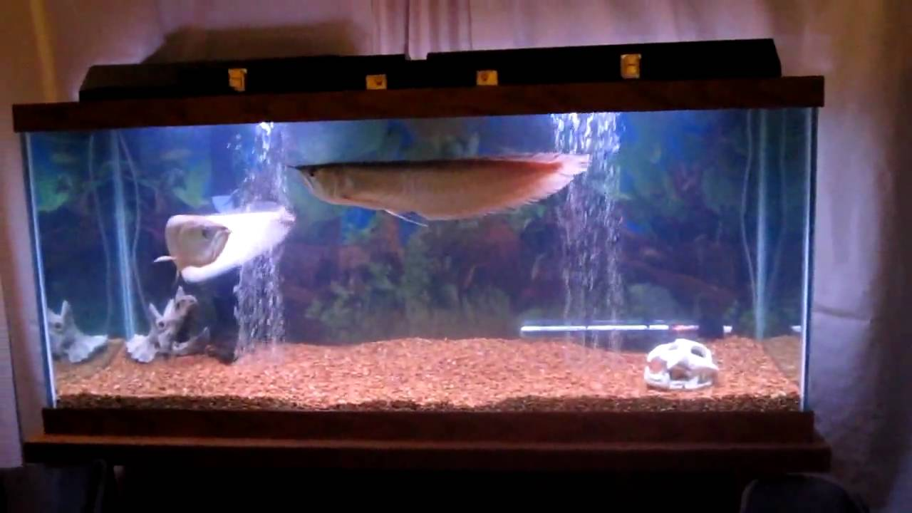 2 arowanas in 90 gallon tank youtube for 50 gallon fish tank dimensions