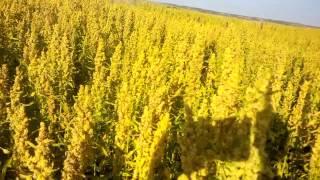 Canadian Quinoa Harvest.  Saskatchewan Canada