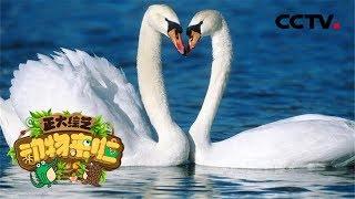 [正大综艺·动物来啦]以下哪种动作不是大天鹅的求偶行为?| CCTV