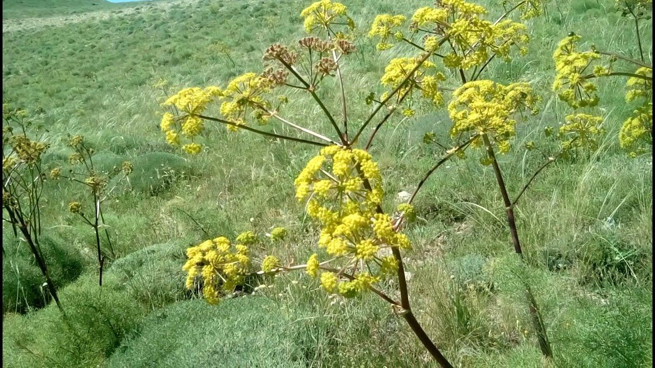 Kantaron ağacı nerede yetişir ile Etiketlenen Konular 78