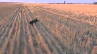 pig hunting in australia on the stubble