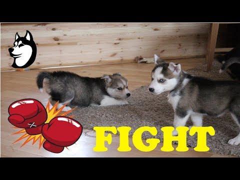 Siberian Husky Puppies Playing: SOOOO CUTE! (2017)