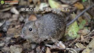 やんばるの森に棲む絶滅危惧種 オキナワトゲネズミ Okinawa spiny rat Tokudaia muenninki