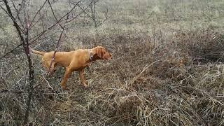 Hungarian Vizsla tracking and pointing pheasant