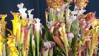 Carnivorous Plants | Sunset