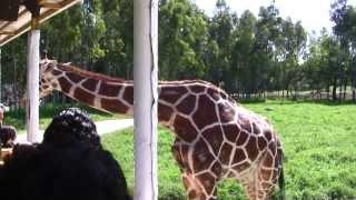 Safari Masai Mara - Zoologico Guadalajara HD