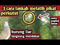 Langkah Melatih Burung Perkutut Pikat Biar Rajin Bunyi Ngacor  Mp3 - Mp4 Download