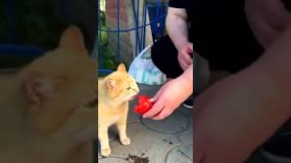 Прикол с котом. Кот вегетарианец