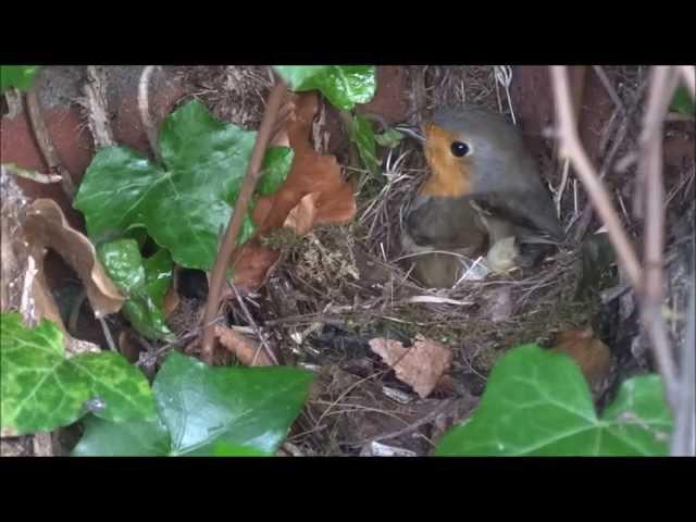 Roodborst bouwt nest (in de tuin)