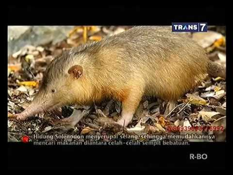 On The Spot   Fakta Unik Solenodon