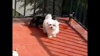 Pampilosa Criadero Natural De Yorkshire Terrier Y Bichón Maltés