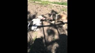 Суровые Деревенские коты не могут поделить мясо