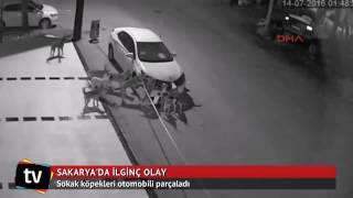 В Турции бродячие собаки разгромили автомобиль