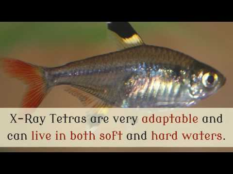 14 Cool Things You Should Know About X Ray Tetra