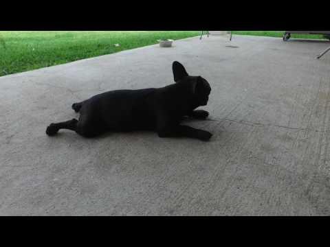 PuppyFinder.com : Lola French Bulldog